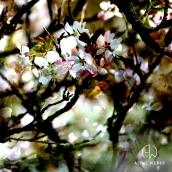 """Hanami - """"SPONTANEA"""" - tirage numérique 60 x 60 cm - 2012"""