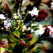 """Hanami - """"AMANOGAWA"""" - tirage numérique - 60 x 90 cm - 2012"""