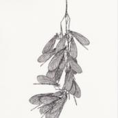 Disamares d'érable sycomore odonates - (n°2) - 2018 - dessin à la plume et à l'encre sur papier - 20 x 29 cm