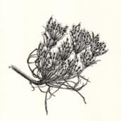 Carotte sauvage à fourmis (n°2) - 2019 - dessin à la plume et à l'encre sur papier - 20 x 29 cm