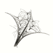 Epilobe à pholques phalangides - 2019 - dessin à la plume et à l'encre sur papier - 20 x 29 cm