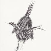 Bec-de-grue à chenilles processionnaires - 2019 - dessin à la plume et à l'encre sur papier - 20 x 29 cm