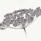 Peucédan à punaises (n°2) - 2018 - 29 x 20 cm - dessin à la plume et à l'encre sur papier