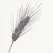 Blé puceroné (n°2) - 2019 - dessin à la plume et à l'encre sur papier - 20 x 29 cm